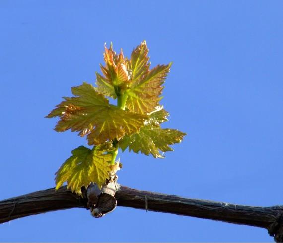 jeunes feuilles de vignes