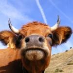 vache du Queyras