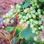 le raisin BLANC