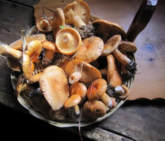 champignons des bois