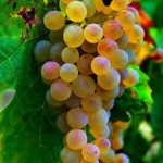 grappes raisins blanc